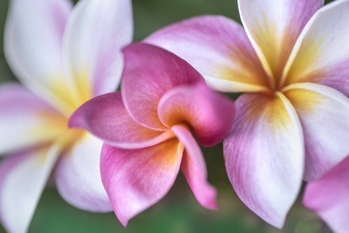自然 植物 花 ピンクの花 プルメリア ハワイ ハワイアン フラダンス レイ 夏 夏の花 真夏イメージ トロピカル バケーション 旅行イメージ 二人の夏 夏の誘い 夏の思い出 夏休み 季節感 暑中見舞い ポストカード 待ち受け画像 コピースペース バックスペース 背景 背景素材 テクスチャー 常夏イメージ 南の島 常夏の島 憧れの花 眩しい夏 太陽 光溢れる 光を浴びて 光透過光 みずみずしい花 爽やかイメージ デザイン素材 グラフィック素材 休暇 新鮮イメージ パステルカラー カクテルカラー 真夏 常夏 南国イメージ