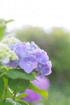 あじさい アジサイ 紫陽花 淡い 淡い色 淡い花 淡い紫陽花 花 植物 緑 梅雨 梅雨時 青い花