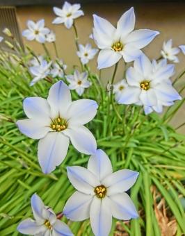 ハナニラ 花韮 花 白 可憐 咲く 開花 アップ 植物 アート撮影 ニラの花 にらの花 ホワイト ブルー 自然 華やか 風景 景色