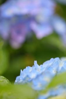 花 植物 雨 梅雨 ガーデニング 6月 雨期 湿度 余白 あじさい アジサイ 水滴 縦位置 緑 グリーン 蒼 青 ブルー 酸性 庭 寺