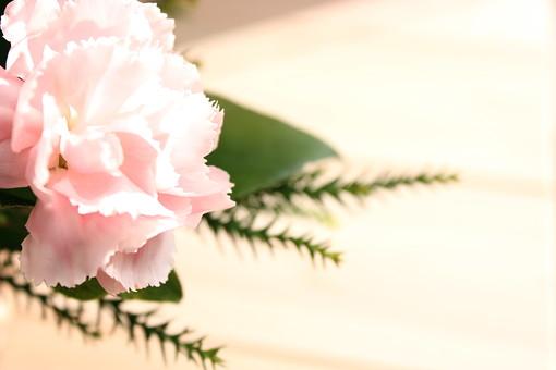 花 カーネーション 母の日 ピンク バック コピースペース 淡い 年中行事 切り花 植物 かわいい イベント 光 自然光 ナチュラル