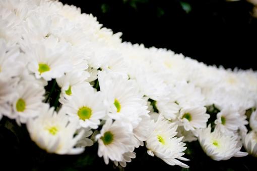 葬儀 葬儀場 葬式 白菊 菊 白 告別式 通夜 葬儀のイメージ 植物 花 コピースペース バックグラウンド