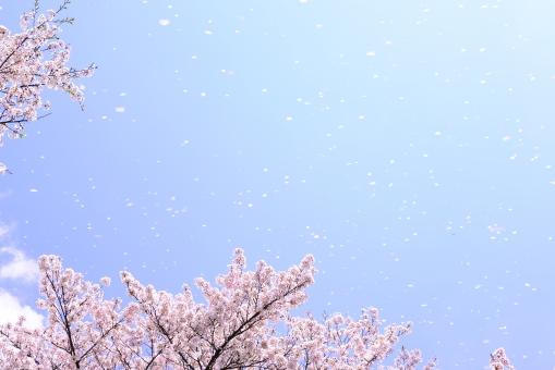 さくら サクラ 桜 桜の木 植物 バックグランド コピ-スペ-ス 自然 青空 花吹雪 桜吹雪 花びら 風 枝 ピンク サクラの木 さくらの木 春 舞う 舞い上がる 散る 強風 春風 大空 空 景観 風景 背景 テクスチャ 清々しい 無常 澄み切った 四季 バック