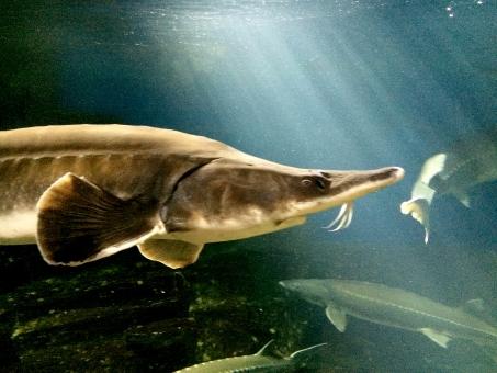 ちょうざめ チョウザメ 鮫 サメ 水族館