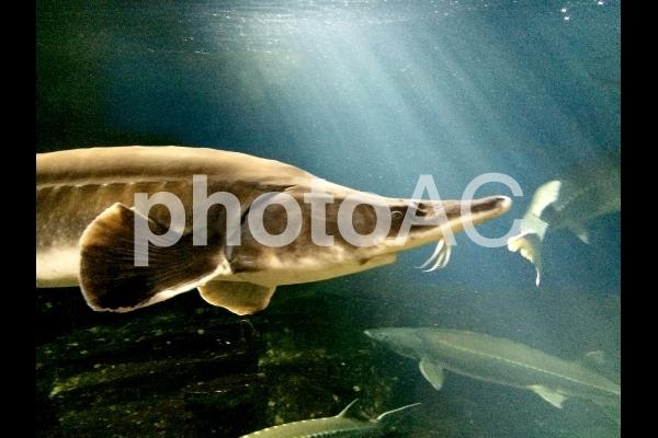 チョウザメ2の写真