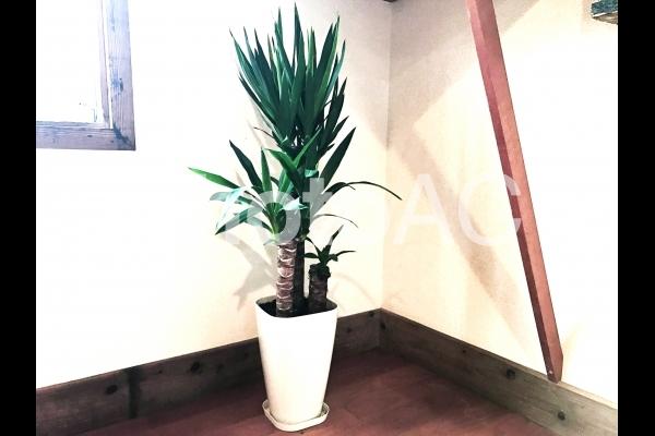 インテリア 観葉植物〜ドラセナの写真