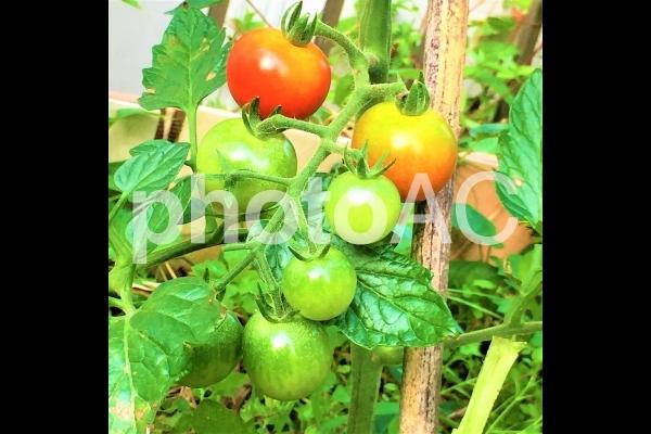 トマト1の写真