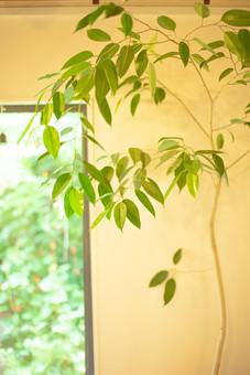 自然 植物 木 樹木 葉 葉っぱ 緑 観葉植物 観賞 飾る ディスプレイ 置く ぼやける ピンボケ 枝 窓 ガラス 壁 建築 建築物 建物 成長 育つ 加工 アップ 無人 室内 屋内 景観