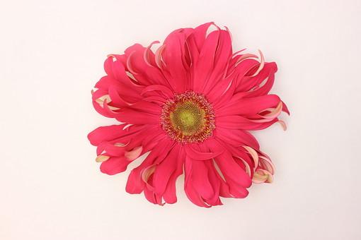 花 植物 ガーベラ 正面 赤 咲く 満開 白バック 一輪