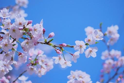 桜 さくら サクラ 春 花 枝 蕾 つぼみ 空 青空 快晴 春うらら コピースペース 入学 卒業 シーズン イメージ 背景 ピンク 桃色 青 咲く 満開 素材 自然 風景 植物 屋外 sakura japan