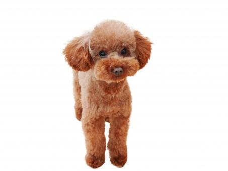 トイプードル トイプードル全身 犬 子犬 仔犬 プードル わんこ かわいい イヌ トイプー いぬ 白背景 切り抜き 白抜き コラージュ 小型犬 雑貨 白バック 素材 犬素材 ペット 愛犬