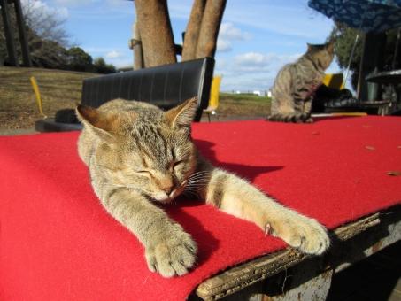 猫 ネコ ねこ 野良猫 公園 park 陽だまり 赤 緋もうせん cat red carpet 小春日和 のんびり まぶしい まったり のびのび 昼寝 冬 早春 春 キジトラ 前足 縁台 日なた 休み 眠い 眠気 青空 動物