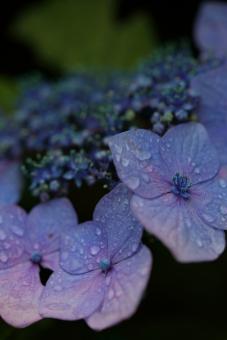 花 植物 紫陽花 あじさい アジサイ 紫 青 6月 梅雨 雨 湿度 湿り気 余白 マクロ 水滴 縦位置