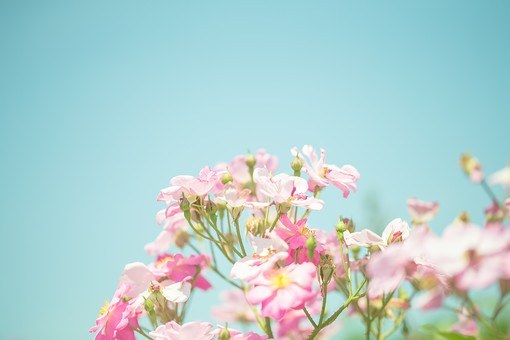 植物 葉っぱ 葉 リーフ  花 花びら 花弁 被子植物 フラワー  自然 ナチュラル ネイチャー 青空 お空 空 蒼穹 蒼空 晴天 ブルースカイ 青い ブルー ピンク ピンクの花 空色 爽やか