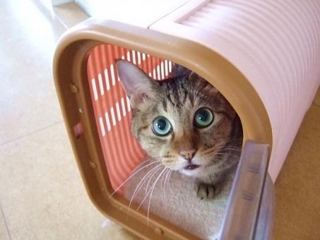 ネコ 猫 ねこ 家猫 飼い猫 室内猫 キャリーケース キャリーバッグ ペット 見つめる 顔 表情 目を開けた お散歩 病院 見上げる 白いひげ 可愛い 動物 生き物 中に入った 準備オッケー ちゃこ 準備万端 お出かけ