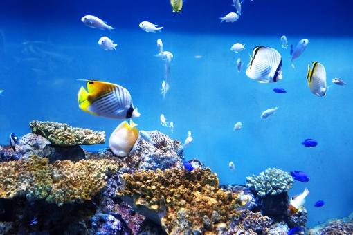 海 動物 水族館 魚 生物 水槽 海水魚 魚類 海の生物 観賞魚 蓑笠子 野生 野生生物 生き物 鳥類 北海道 自然 ネイチャー 野生動物 素材 さかな 水中 きれい キレイ カラフル あつい かさご 海中 すいちゅう アップ マクロ アクア 熱帯 熱帯魚 海洋 海中生物 海洋生物 あお 青 青色 コピースペース ハガキサイズ くらげ クラゲ 水母 泳ぐ およぐ オヨグ