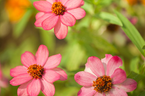 秋の風景 ストロベリーチョコ コスモス アキザクラ 秋桜 花びら 花弁 アップ 接写 植物 花 草花 散歩 散策 自然 風景 景色 真心 のどか 鮮やか 美しい 綺麗 可愛い 明るい ボケ味 ピントぼけ ぼかし