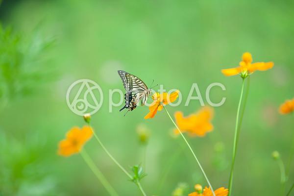 黄色い花と蝶々1の写真