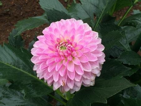 ダリア シュシュ キク科 花 庭 植物