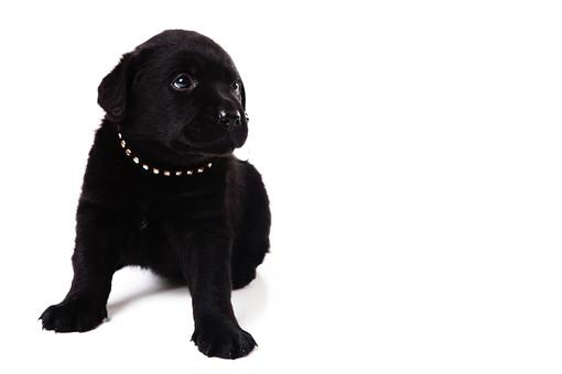 ポーズ 動物 生物 生き物 哺乳類 ほ乳類 犬 いぬ イヌ ドッグ 黒ラブ ラブラドールレトリバー ラブラドール 黒 こいぬ 仔犬 子イヌ パピー かわいい 可愛い 赤ちゃん お座り おすわり 左寄り 余白 空白 空間 スペース 白背景 白バック  十二支 干支 戌