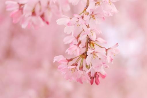 しだれ桜 可憐 春の花 ピンクの花 枝 お花見 入学式 卒業式 新生活 テクスチャ テクスチャー 樹木 木 テキストスペース コピースペース 植物 優しい やさしい ソフト 柔かい やわらかい 美容 四月 光 4月 白 花弁 花びら 爽やか さわやか 青 空 青空 水色 自然 美しい さくら サクラ ピンク 花 春 綺麗 可愛い かわいい 背景画像 桜 カード ハガキ バックグラウンド 余白 スペース バック バック素材 素材 背景素材 日本 壁紙 明るい アップ 背景 和風 和 年賀状素材 元旦 年賀ハガキ イメージ 1月 新春 新年 お正月 正月 年賀状 年賀 元旦素材 初春 迎春