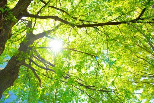 木漏れ日 光 日差し 陽射し まぶしい 眩しい 日光 太陽 植物 葉 葉っぱ 木 枝 晴れ お天気 明るい 散歩 おさんぽ 見上げる 緑 グリーン 逆光 新緑 日本 自然 野外 屋外 壁紙 背景 背景素材 バックグラウンド コピースペース 環境 エコ eco さわやか 爽やか 初夏 森 森林 林 木々 こもれび