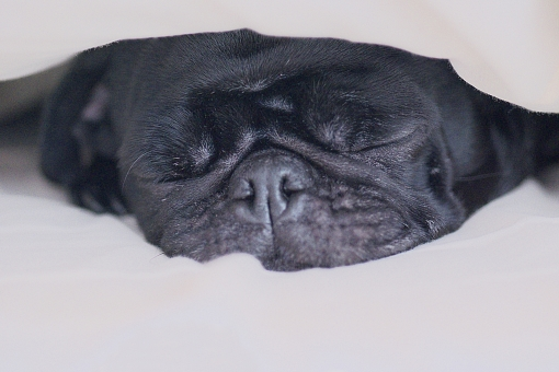 犬 いぬ イヌ ドッグ ペット 飼い犬 飼育 小型犬 室内犬 パグ 表情 睡眠 熟睡 安眠 快眠 仮眠 眠る 休む 休息 休憩 すやすや スヤスヤ グーグー ぐーぐー いびき イビキ 鼾 おやすみ おやすみなさい 安心 安全 快適 居心地 寝心地 ポカポカ ぽかぽか 休まる 癒える 癒す 癒し 和む 潜る 篭る 潜り込む もぐりこむ ベッド 寝床 就寝 休眠 休暇 疲労 疲労回復 落ち着く ぶさかわ ぶさかわ犬 ブサカワ犬 ブサカワ ぶさカワ犬 くつろぐ 寝る 寝入る 動物 生き物 顔アップ 愛犬 愛玩犬 家族 白背景 白バック テキストスペース コピースペース