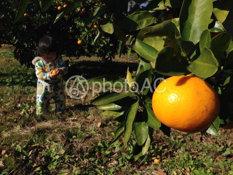 みかん畑と子供の写真