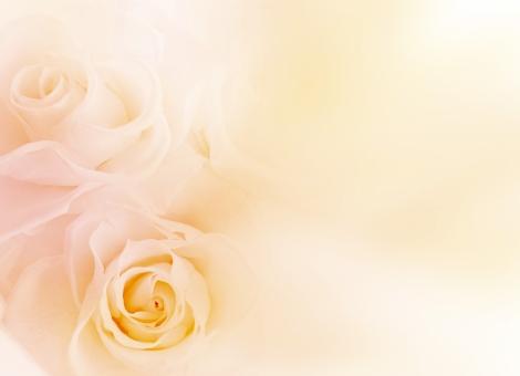 淡い薔薇_背景の写真