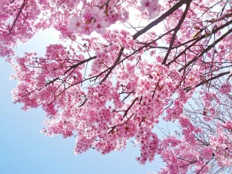 桜 さくら サクラ 春 初春 三月 3月 四月 4月 花 花びら 植物 薄紅 薄紅色 pink ピンク ピンク色 晴れ 快晴 晴天 青空 青い空 空 青色 水色 空色 蕾 満開 咲く 開く 雄しべ 雌しべ 日本 人気花 花言葉 自然 風景 景色 壁紙 背景 テクスチャ 素材 フレーム キレイ 綺麗 きれい かわいい 可愛い カワイイ 人気 素敵 ステキ 美しい 花見 木 桜木 華やか 艶やか 爽やか 優しい 優しさ ふんわり ふうわり soft ソフト 入学式 卒業式 散る 陽射し 日差し