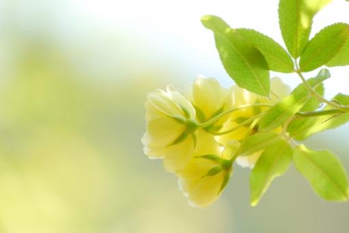 モッコウバラ ばら バラ 薔薇 花 植物 木 黄色 イエロー 緑 グリーン 葉 葉っぱ コピースペース テキストスペース 春 初夏 新緑 公園 テクスチャ テクスチャー 自然 背景 壁紙 4月 四月