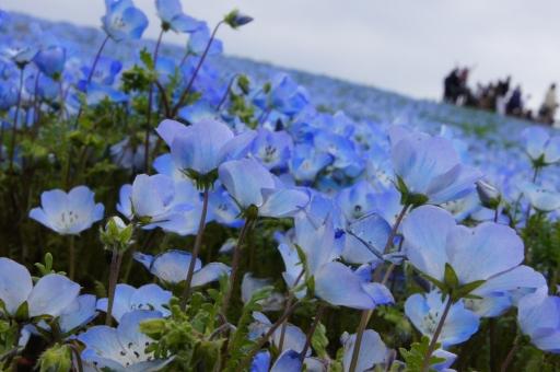 ネモフィラ畑の写真