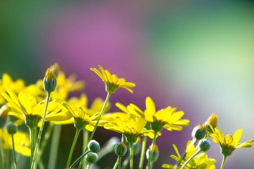 自然 植物 花 春の花 黄色い花 マーガレット 春 初夏 花畑 元気いっぱい ビタミンカラー ポストカード 待ち受け画像 コピースペース 新緑 若葉 新芽の季節 新鮮な バックスペース