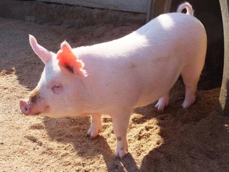 「豚 写真 フリー」の画像検索結果