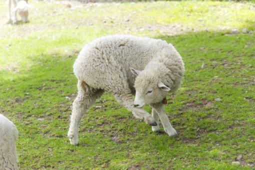 仔羊 ヒツジ 未 羊 ひつじ 動物 生き物 干支 十二支 年賀状