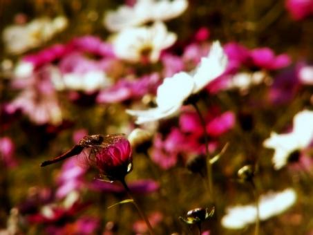あかとんぼ 赤トンボ アカトンボ 赤とんぼ 蜻蛉 トンボ とんぼ コスモス こすもす あきあかね アキアカネ 秋 秋分 秋桜 赤蜻蛉 寒露 節気 二十四節気
