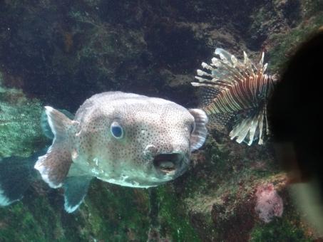 水族館 ふぐ フグ ぴよぴよ かわいい 可愛い 気持ちいい 青 いきもの 生き物 海 海中 水 魚 さかな 愛らしい ほほえましい ひょうきん おもしろい