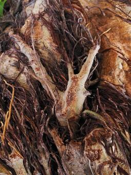 自然 植物 木 樹木 根 絡まる 這う 幹 成長 育つ 伸びる 沢山 多い 密集 集まる 束 枯れる しぼむ 不気味 苔 アップ 無人 室外 屋外 風景 景色 生える くっつく