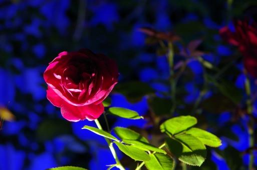 バラ 花 青 影 薔薇 緑 暗い 怪しい