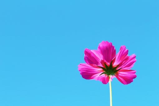 コスモス 秋桜 秋 初秋 花 花びら ピンク ピンク色 濃いピンク pink 花言葉 青空 空 青い空 青い 青 青色 水色 空色 ブルー blue 晴れ 晴天 快晴 一輪 一輪のコスモス 一輪の花 ハッキリ はっきり くっきり クッキリ すっきり スッキリ 自然 風景 景色 壁紙 背景 テクスチャ 素材 フレーム 可憐 優しい 愛らしい ひたむき 素朴
