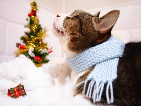 クリスマス マフラー 猫 クリスマスツリー 冬 ネコ ねこ 飼い猫 家猫 室内 見上げる 上 見つめる 見る 愛おしい