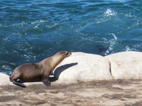 野生 動物 生き物 アシカ 海 ひなたぼっこ お休み 岩 夏 海岸 カリフォルニア サンディエゴ ラホヤ アメリカ 海外 西海岸 のんびり 休日 子供 散歩 歩く よちよち ほっこり かわいい