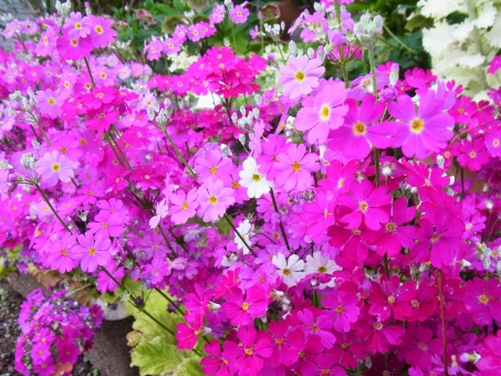 桜草 サクラソウ さくらそう ピンク 緑 小さい花 春 可愛らしい 背景 花 植物