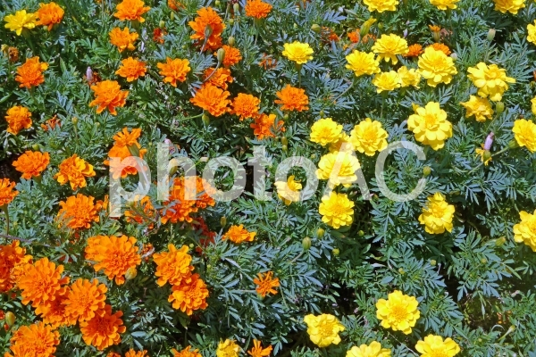 オレンジと黄色の小花_01の写真