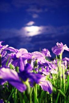 菖蒲 あやめ アヤメ 花 紫 ライト ライトアップ 夜景 月 月明かり ムーン 縦 たて 光源 光 透過 夜 夜間 月夜 6月 六月 初夏 夏