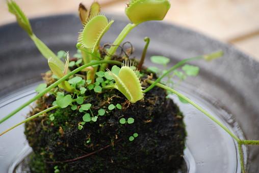 ハエトリグサ はえとりぐさ 蠅捕草 食虫植物 ハエトリソウ ハエジゴク 植物 葉 葉っぱ アップ クローズアップ 屋外 外 ガーデニング 栽培 趣味 自然 満園芸 南国 苔玉 盆栽 水 小鉢 土 双葉