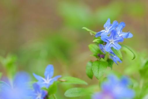 青い花 植物 春の花 春 青 ブルー 瑠璃色 花 背景 壁紙 可愛い かわいい 庭 公園 花畑 コピースペース テキストスペース 緑 グリーン 葉 葉っぱ マクロ アップ クローズアップ 美しい 草花 自然 ホタルカズラ 蛍蔓 ほたるかずら 蛍かずら 初夏 4月 5月 四月 五月