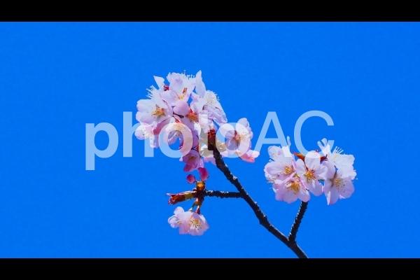 春一番は桜と梅の大共演の写真