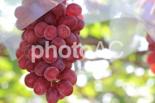 赤いブドウの写真