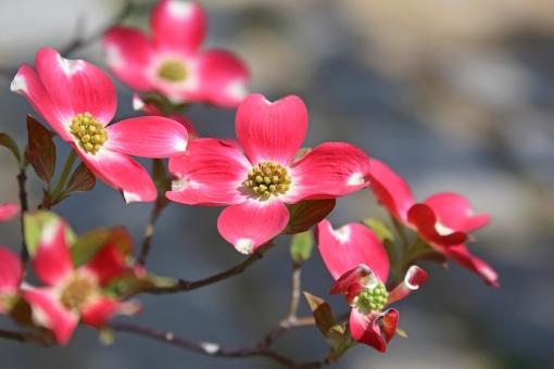 ハナミズキ 赤い花の写真